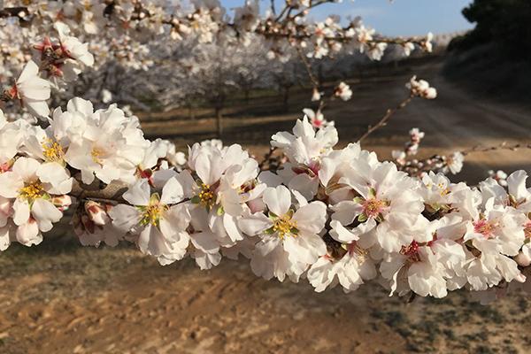 Almendro en flor Viveros Abel