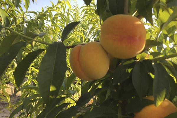 frutas de hueso melocoton Viveros Abel